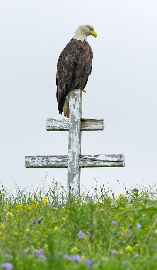 An adult bald eagle sits on top of a wooden Russian Orthodox grave marker in the Memorial Park Cemetery in Unalaska, Dutch Harbor, Alaska.