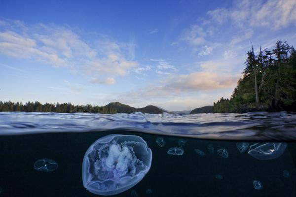 Moon jellyfish (Aurelia labiata) and cross jellyfish (Mitrocoma cellularia) near Browning Passage off the northern tip of Vancouver Island. Look carefully and you can see the dive boat waiting to pick me up. Browning Pass, Queen Charlotte Strait, British Columbia