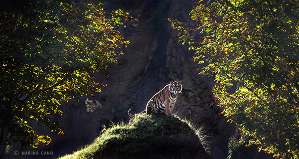 Wild tiger photo captured in Cabarceno Wildlife Park Spain