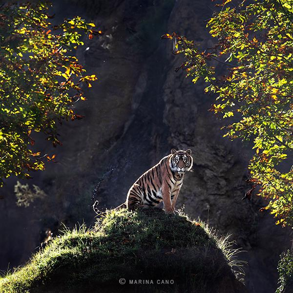 The-Tiger-crop-by-Marina-Cano