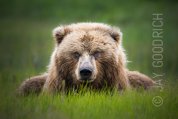 Grizzly Bear Eating Alaska Summer by Jay Goodrich