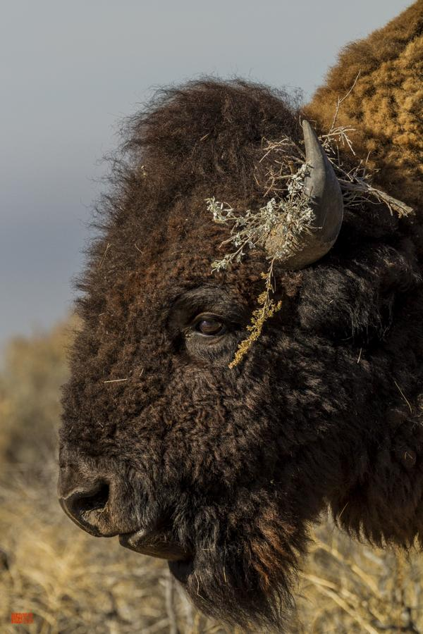 Antelope Island State Park American Bison close up on face and head of a buffalo free ranging Great Salt Lake Utah