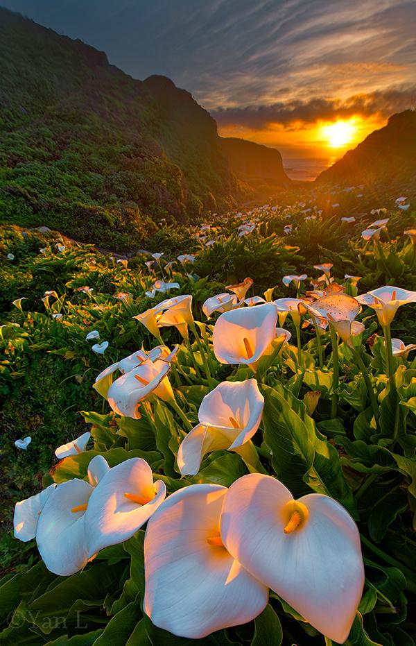 Three exposure composite of calla lilies captured in Big Sur, California field of flowers