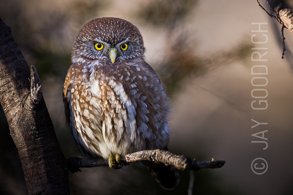 Owl Branch Chile Patagonia Glaucidium nanum by Jay Goodrich