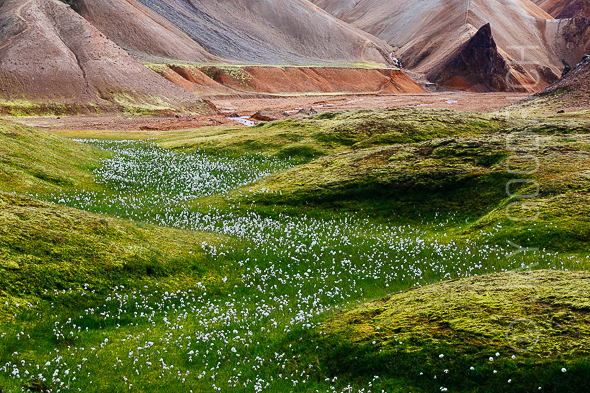 Cotton Grass Rhyolite Hills by Jay Goodrich
