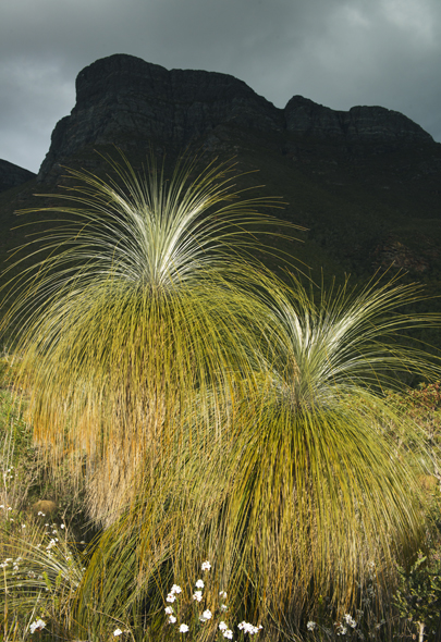 Grass Tree (Kingia australis)  Endemic to Western Australia, Sti