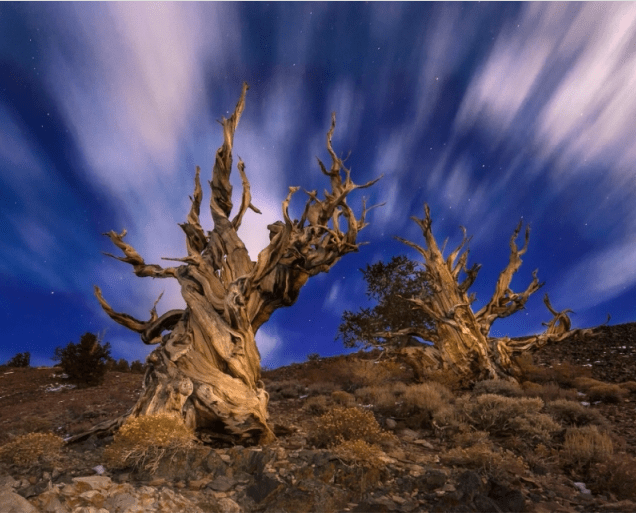 Bristlecone Pines At Night by Henry Mccourt