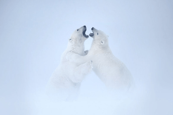 Two polar bear cub siblings playfully engaging in an argument wildlife behavior Arctic National Wildlife Refuge, Park, Alaska