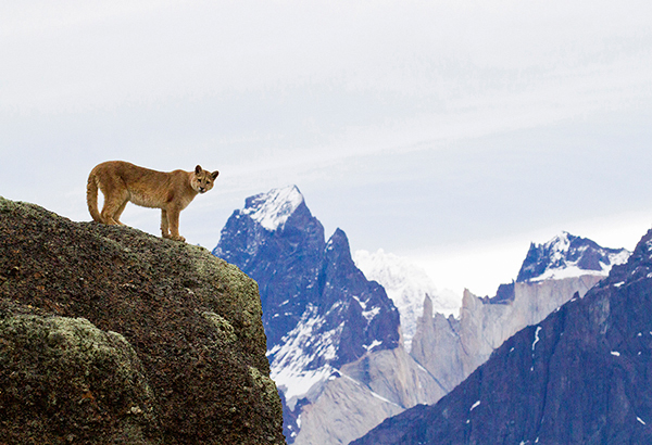 "Behind The Shot: ""Puma in Torres"" by Richard Zahren – Torres del Paine National Park, Chilean Patagonia"