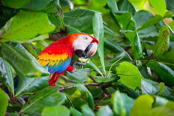 Scarlet macaw, Osa Peninsula, Costa Rica (by Ian Plant)