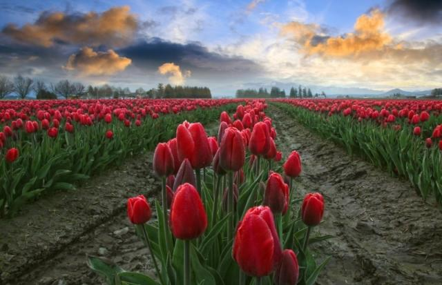 'Skagit Valley Tulips At Sunrise' by Andy Porter