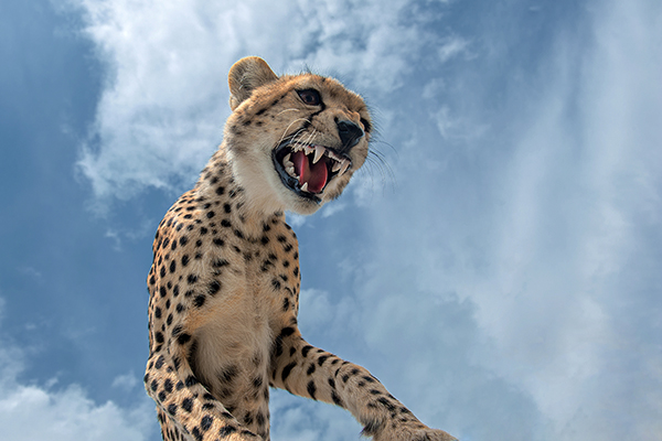Close up of a cheetah taken in Serengeti National Park Tanzania East Africa tour guided vehicle