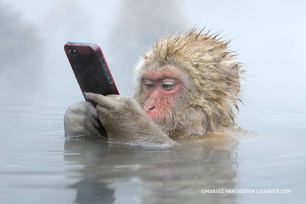 A macaque steals and plays with an iPhone in Jigokudani Monkey Park Japan Yamanouchi, Shimotakai District, Nagano Prefecture, Japan
