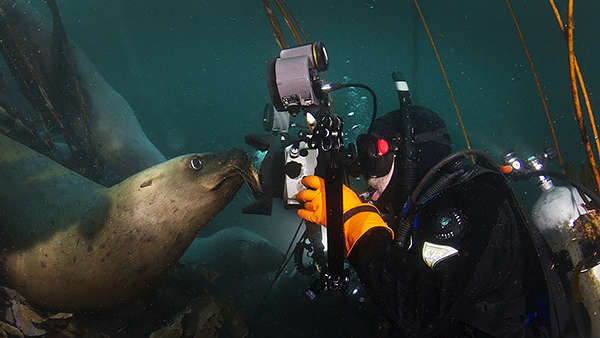 Underwater diver taking a close up photo of a stellar sea lion off the coast of British Columbia