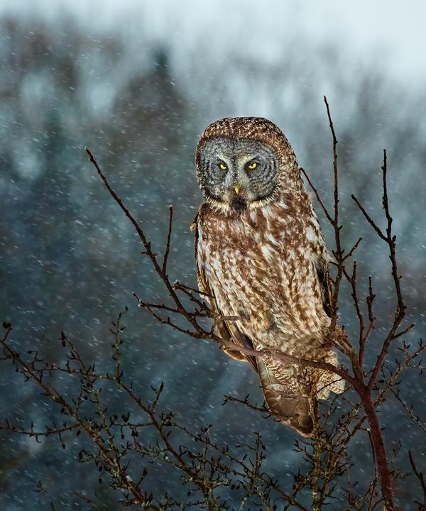 Wildlife portrait of a Great gray owl in Ontario, Canada against a backdrop of snow and winter conditions