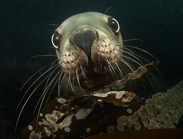 Underwater close up shot of pinniped sea lion's face photography Subal housing