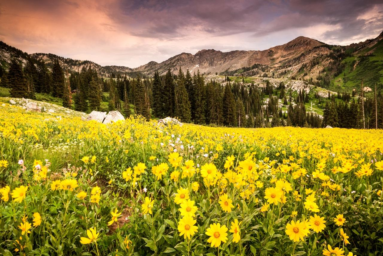 'Albion Basin Wildflowers' by Lindsay Daniels