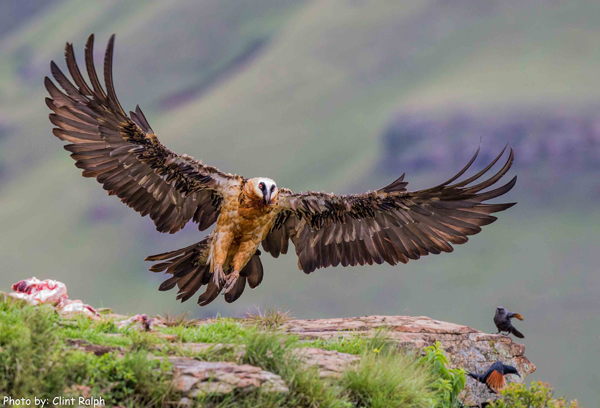 Bearded vulture swooping in for a landing in the Drankensberg mountain range KwaZulu-Natal South Africa