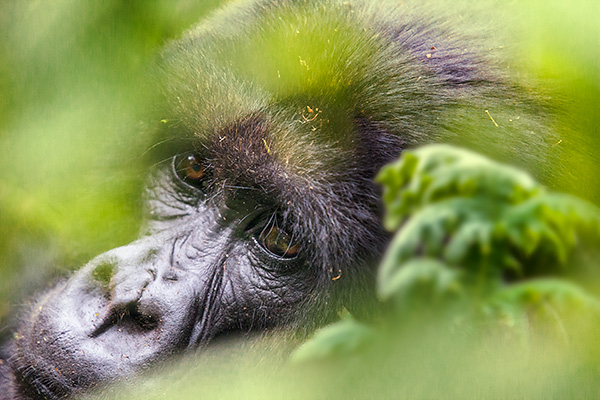 A mountain gorilla behind a screen of leaves, Volcanoes National Park, Rwanda (by Ian Plant)