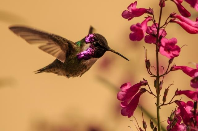 'Anna's Hummingbird' by Jerry Taylor