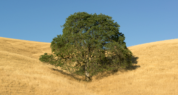 Oak trees (Quercus sp.) and grassland, Mt. Diablo State Park, California.