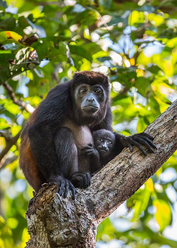 Golden-mantled-howler-monkey-and-baby-2-Osa-Peninsula-Costa-Rica