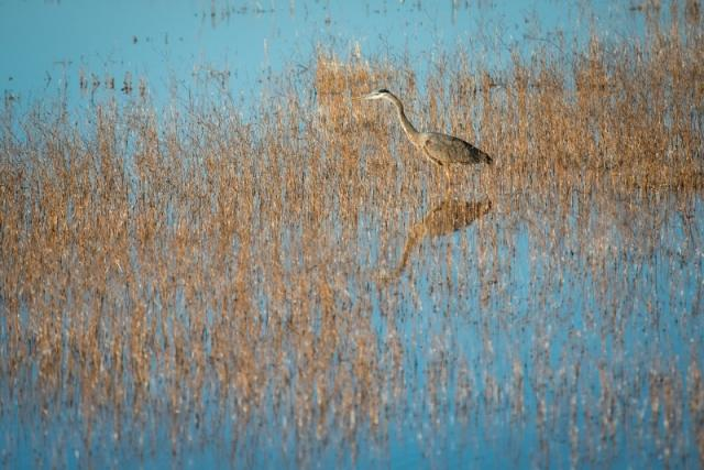 Great-Blue-Heron-by-Ryan-Mcginley