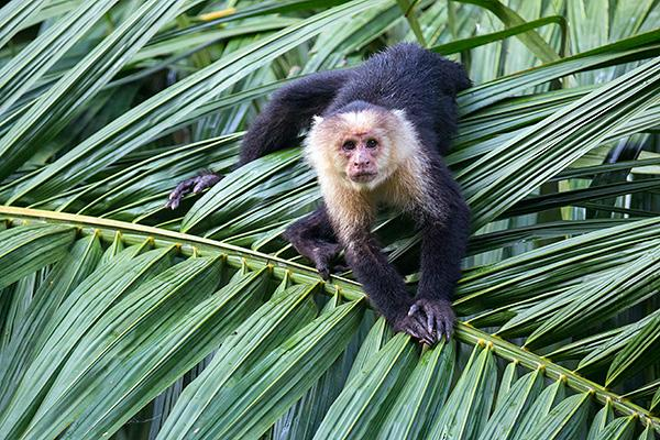 White-headed-capuchin-monkey,-Osa-Peninsula,-Costa-Rica