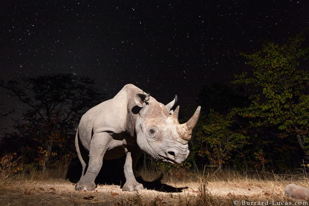 Camera trap photograph of a Black Rhino at night by Will Burrard-Lucas