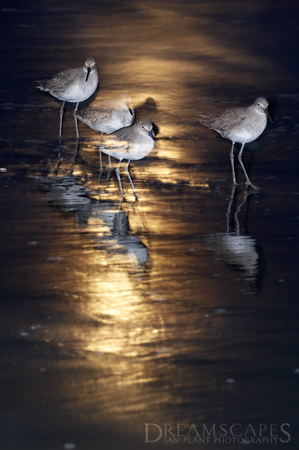 moon-willets