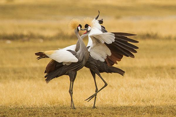 Grey-Crowned-Cranes-Courtship