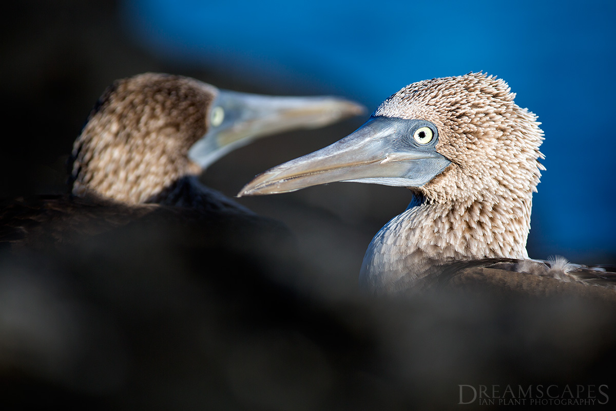 Pair-of-blue-footed-booby,-Floreana-Island,-Galapagos-National-Park,-Ecuador