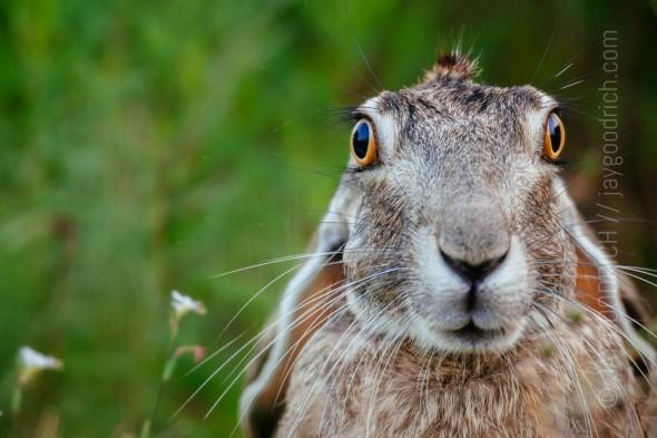 Rabbit-Portrait-Texas-1-e1429741595112