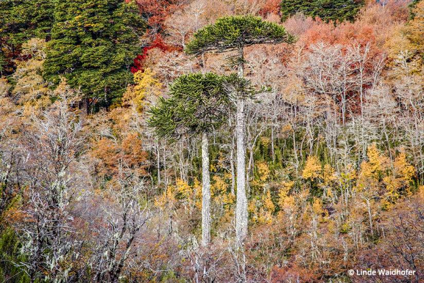 Although not shot in Patagonia, but just to the north, in the Conguillio National Park, this is a classic autumn forest scene from southern Chile. The tall trees are Araucaria that grow up to 130 feet tall, and are sometimes called living fossils because this species evolved in the age of dinosaurs. The Araucaria are surrounded by Roble (oak) and Raulí (another southern hemisphere beech tree). 2 sec at ƒ22, ISO 400, 135mm (28-135mm lens) on a tripod.