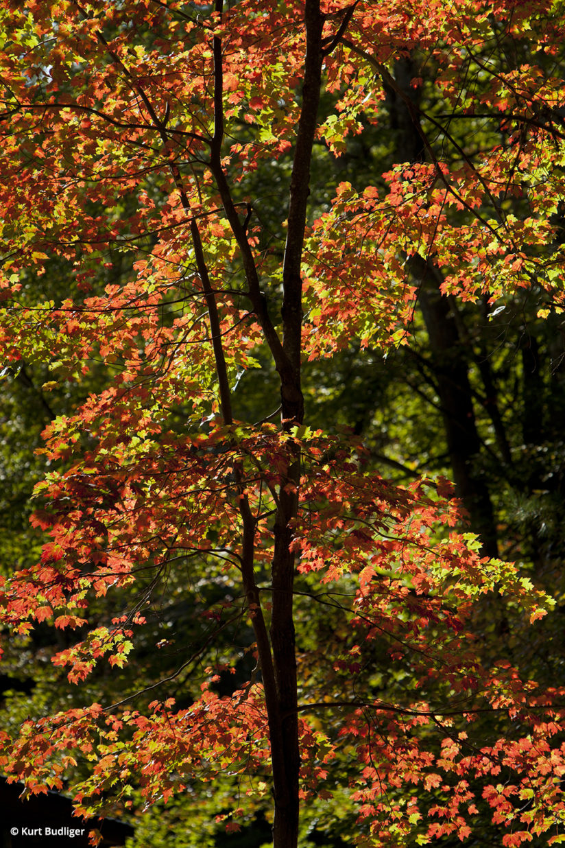 Tip 1: Vibrant red maple leaves illuminated by early morning back-light in the green mountains, Middlesex, Vermont