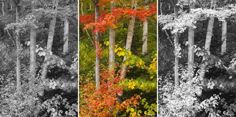Tip 10: Autumn foliage and birch trunks near Jay, Vermont