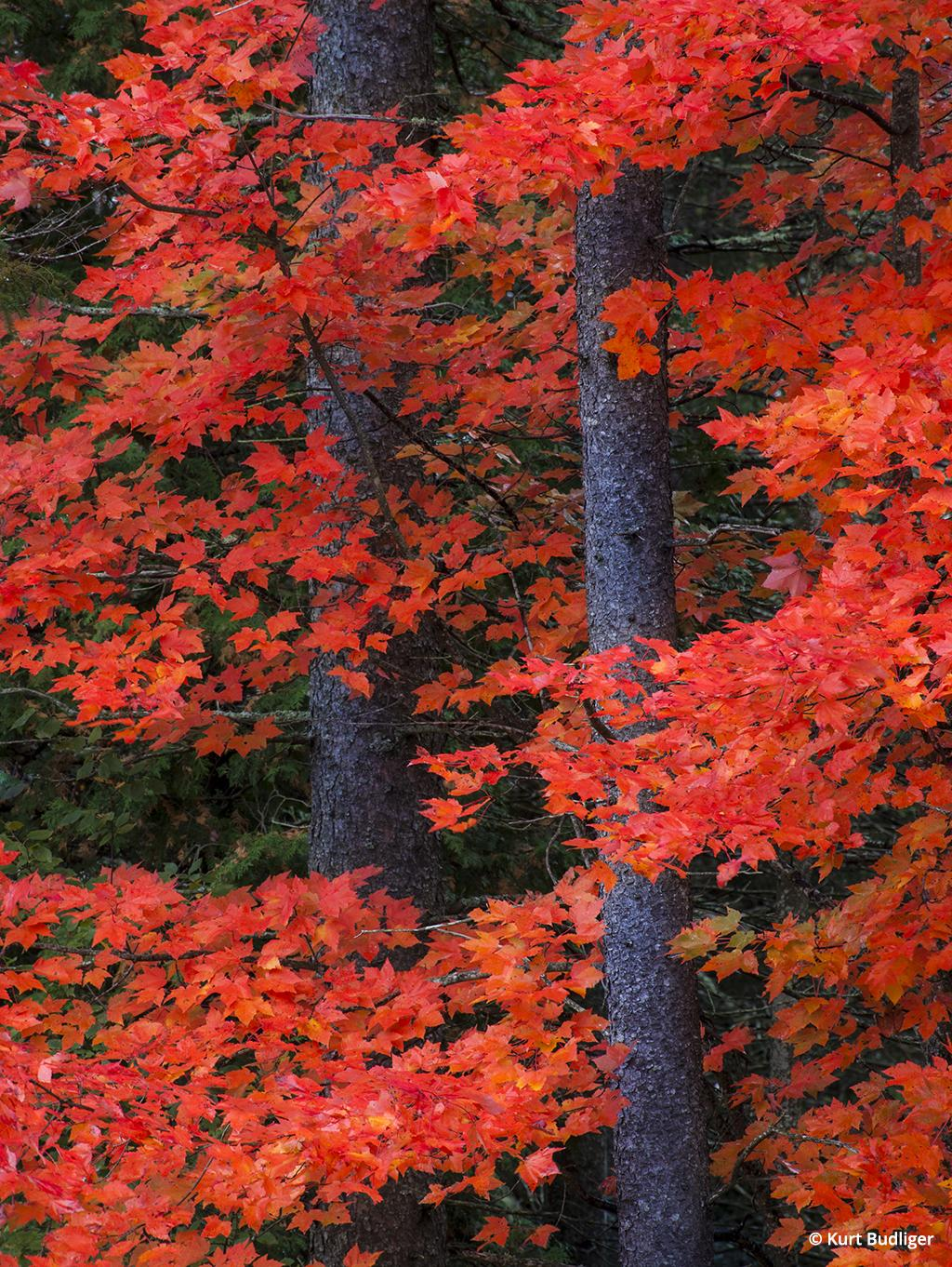 Tip 3: A longer focal length was used to isolate a riot of vibrant red maple leaves wrapped around some spruce trunks near Danville, Vermont.
