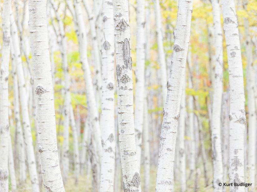 Tip 6: Exposure compensation and further brightening of tonal values in post processing create a soft, pleasing high key representation of this aspen grove. Acadia National Park, Maine.