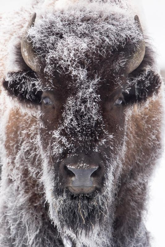 Frosty-Bison