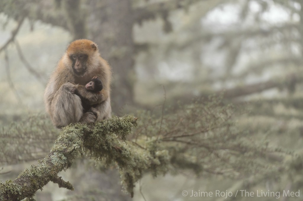 ROJO_TheLivingMed_Macaque_web