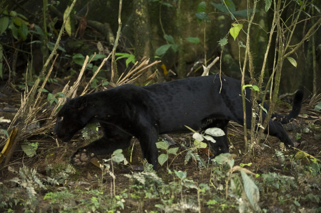Black Panther or Black Jaguar (Panthera onca) WILD, NON-BAITED. Yasuni National Park, Amazon Rainforest ECUADOR. South America HABITAT & RANGE:  Preferred habitat is dense rainforest. Mexico across much of Central America south to Paraguay and northern Argentina. IUCN STATUS: Near Threatened.