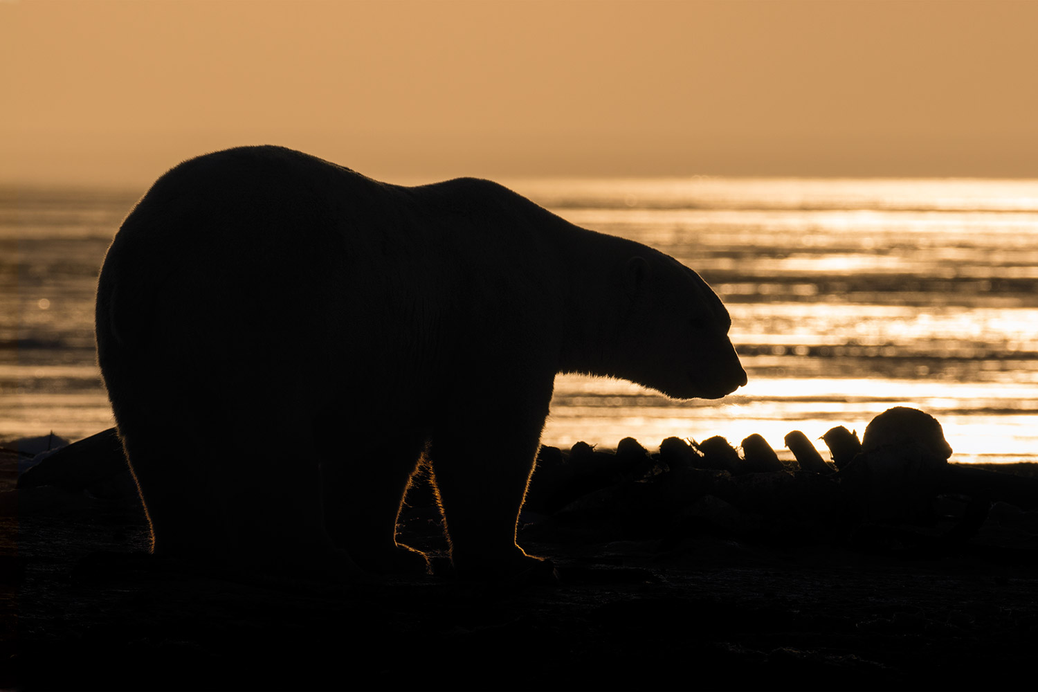 Polar-bear-against-sunrise-sky,-Arctic-National-Wildlife-Refuge,-Alaska,-USA