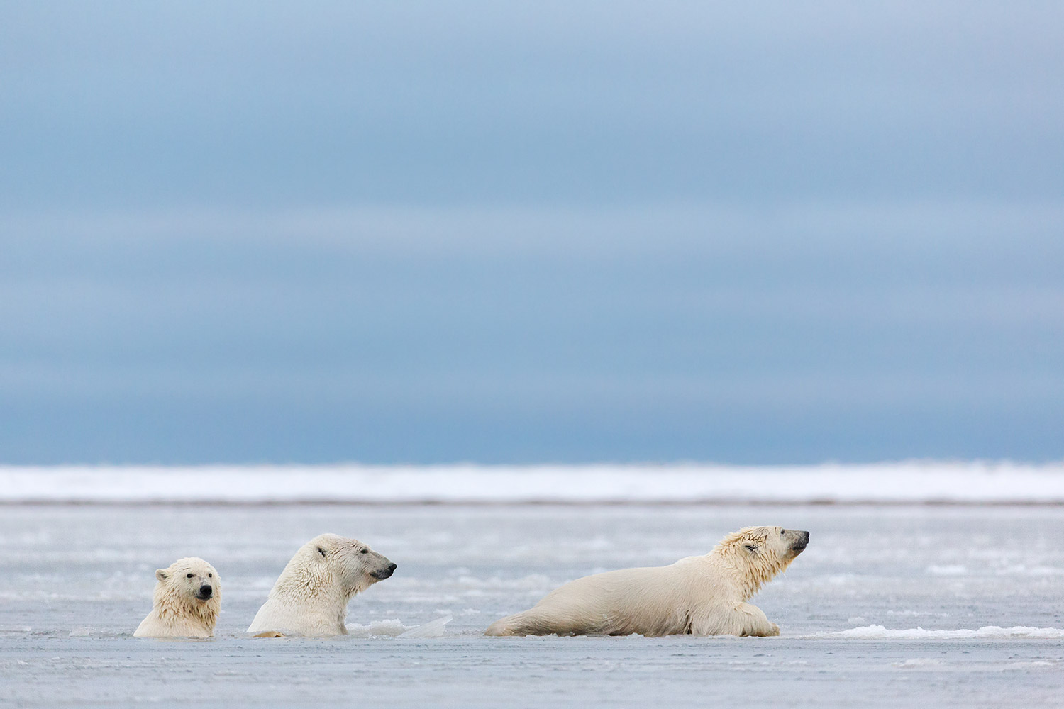 Polar-bear-and-cubs-swimming-in-icy-water-2,-Arctic-National-Wildlife-Refuge,-Alaska,-USA