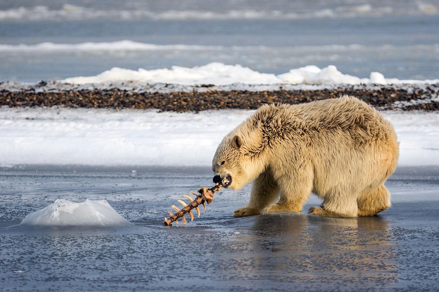 Polar-bear-cub-playing-with-vertabrae,-Arctic-National-Wildlife-Refuge,-Alaska,-USA