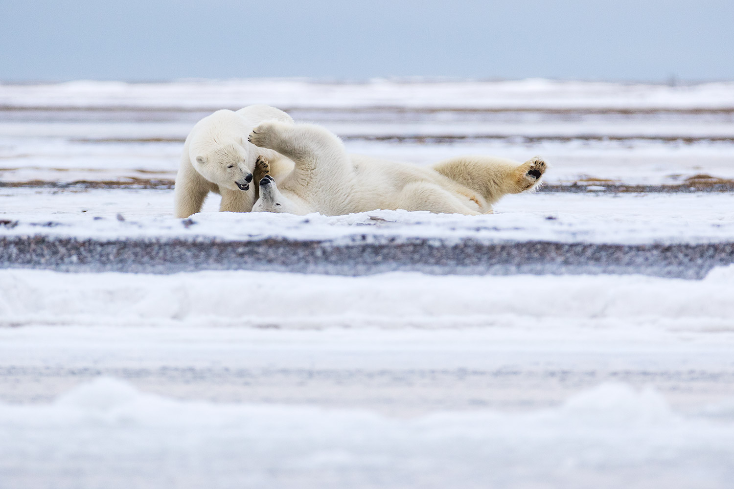 Polar-bear-sow-and-cub-play-wrestling,-Arctic-National-Wildlife-Refuge,-Alaska,-USA