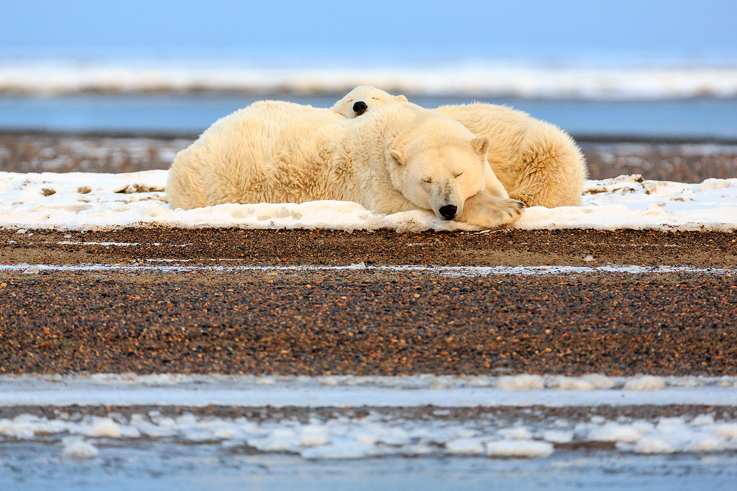 Polar-bear-sow-and-cub-sleeping,-Arctic-National-Wildlife-Refuge,-Alaska,-USA