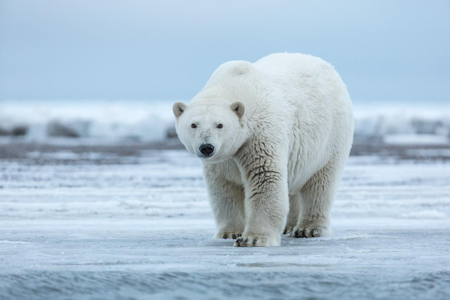 Polar-bear-standing-on-shore-ice,-Arctic-National-Wildlife-Refuge,-Alaska,-USA