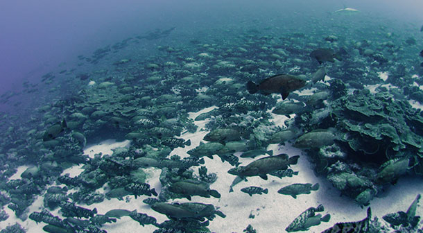Thousands of marbled grouper gather in a narrow channel in French Polynesia to spawn. Image courtesy Khaled bin Sultan Living Oceans Foundation.