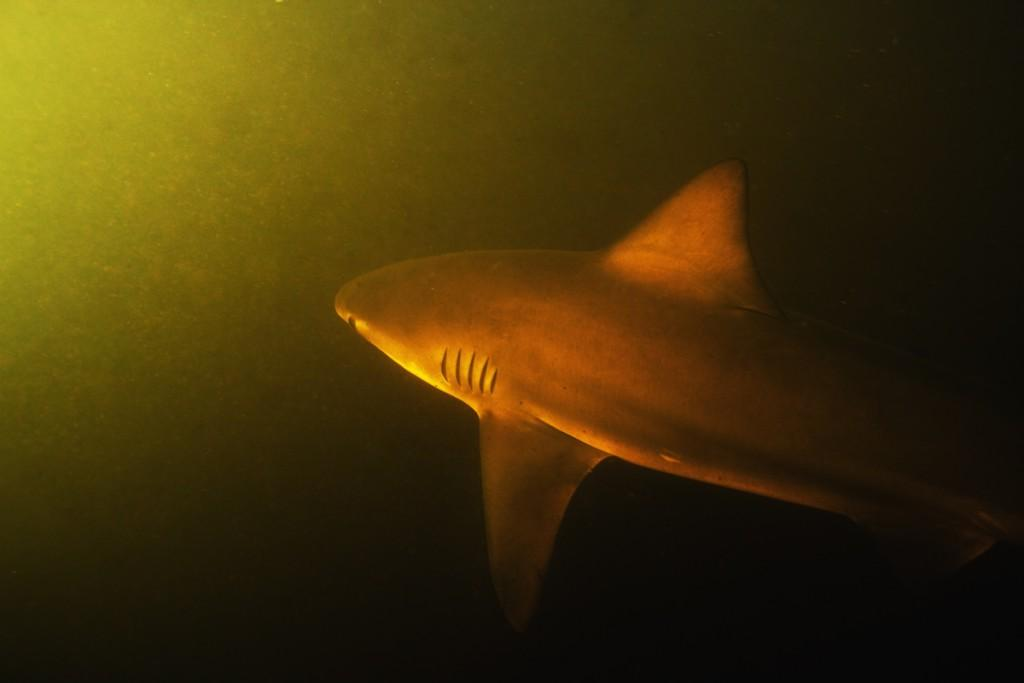 Moments after photographing this bull shark in Rio Sirena, a crocodile tried to snatch my camera out of my hands.