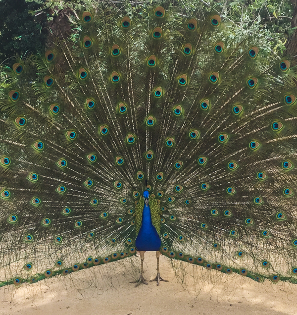 A peacock shows his full splendor. Photo by Victoria Sullivan.